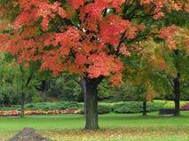 Autumn park. Autumn maple tree in the park Royalty Free Stock Photos