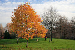 Autumn park. Lonely tree in the autumn park royalty free stock photography