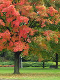 Autumn park. Autumn maple tree in the park Royalty Free Stock Photo