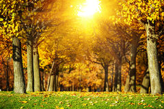 Autumn park background. Alley in the park with trees covered in. Sunny autumn park background. Alley in the park with trees covered in bright orange and yellow Royalty Free Stock Photography