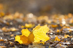 Autumn park. Beautiful maple leaves in autumn park Stock Photography