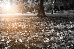 Autumn park in black-and-white Royalty Free Stock Images