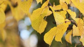Autumn Park - bright yellow leaves glow in the sun. A beautiful sunny day - a fall in the autumn park stock footage