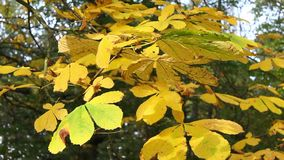 Autumn in the park with chestnut trees. Autumn in the park with yellow chestnut trees, Scotland, UK stock footage