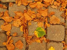 Autumn park cobble stone footpath with dry orange lime tree leaves , colorful leaf Royalty Free Stock Images
