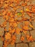 Autumn park cobble stone footpath with dry orange lime tree leaves , colorful leaf Stock Image