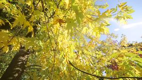 Autumn park with colorful beautiful trees, autumn yellow leaves on a sunny day. The rays of the sun pass through the. Trees. The camera moves in front of stock footage