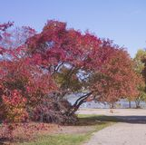 Autumn park. Colorful foliage. Red leaves trees. Royalty Free Stock Photos
