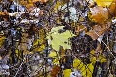 Autumn in the park. A fallen maple leaf on the wet branches of a bush. Rain. Royalty Free Stock Images
