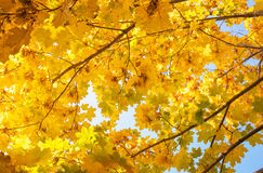 Autumn in the park: golden maple tree leaves Royalty Free Stock Image