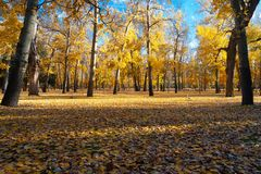 Autumn park with golden trees stock images