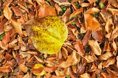 Autumn park ground with autumn leaves. Big bright leaf on orange carpet Stock Images