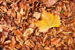 Autumn park ground with autumn leaves. Big bright leaf on orange carpet Stock Photography