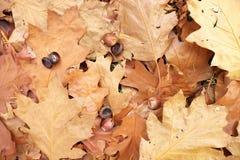 Autumn park ground with autumn leaves. Big bright leaf on orange carpet Royalty Free Stock Image