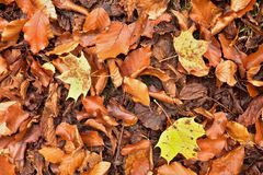 Autumn park ground with autumn leaves. Big bright leaf on orange carpet Royalty Free Stock Photography