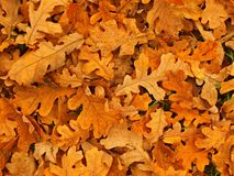 Autumn park ground with dry orange oak leaves , died colorful leaves Stock Photo