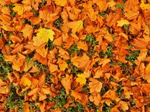 Autumn park ground with dry yellow orange maple leaves , colorful leaf Stock Image
