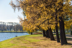 Autumn park with larches Royalty Free Stock Images