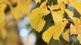 Autumn Park - le foglie gialle luminose emettono luce al sole stock footage