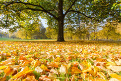 Autumn in a Park. Autumn leaves leave their tree to beautify the grounds of a park before returning to the soil to fertilize the earth Stock Photography