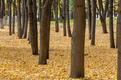 Autumn in the park, linden trees dropped leaves yellow.  Stock Photo