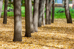 Autumn in the park, linden trees dropped leaves yellow.  Royalty Free Stock Image