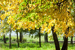 Autumn in the park, linden trees dropped leaves yellow.  Royalty Free Stock Photo