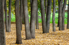 Autumn in the park, linden trees dropped leaves yellow.  Stock Image