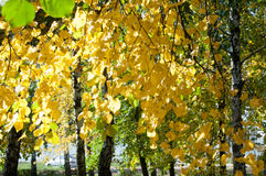 Autumn in the park, linden trees dropped leaves yellow.  Royalty Free Stock Photos