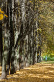 Autumn in the park, linden trees dropped leaves yellow.  Stock Photography
