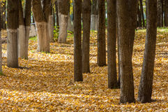 Autumn in the park, linden trees dropped leaves yellow.  Stock Images