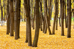 Autumn in the park, linden trees dropped leaves yellow. Beautiful Stock Photo