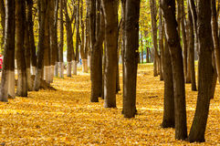 Autumn in the park, linden trees dropped leaves yellow. Beautiful Stock Images