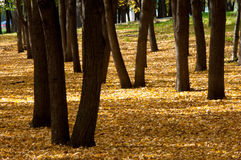 Autumn in the park, linden trees dropped leaves yellow. Beautiful Royalty Free Stock Photos