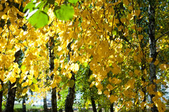 Autumn in the park, linden trees dropped leaves yellow. Beautiful Royalty Free Stock Images