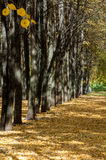 Autumn in the park, linden trees dropped leaves yellow. Beautiful Stock Photos