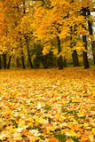 Autumn park with maple trees Royalty Free Stock Photos