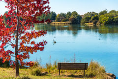 Autumn park with pond and red maple. Autumn landscape of Gungahlin Pond Park with red maple tree, bench and blue pond with black swan on the background. Canberra Stock Images