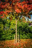 Autumn in the park, red Japanese maple tree beautiful background. Vertical stock photography