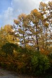 Autumn park with tall larch trees and bushes on the foreground.  stock photos