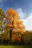 Autumn park tree. Bright autumn tree in a park over deep blue sky Stock Images
