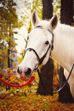 Autumn park. White horse in autumn park Stock Photos