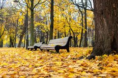 Free Autumn Park With White Benches And Bright Yellow Fallen Leaves. Morning Landscape Without People Royalty Free Stock Images - 161519539