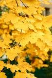 Autumn Park With Yellow Maples Stock Photos