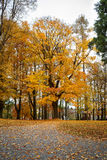 Autumn in park with yellow leaves on ground Royalty Free Stock Photo