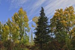 Autumn park. Yellow trees in autumn park Royalty Free Stock Photo