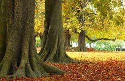 Autumn parkland. Trees wiht leaves falling on an autumn day in the park Royalty Free Stock Photography