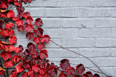 Autumn Partial Border Design - Red Grape Leaves. A gray brick wall partially covered corner border of grape vines and autumn red leaves. Room for copy space royalty free stock image