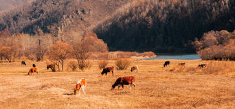 The autumn pasture. The hulun buir of China,The autumn pasture,Cows eating grass Stock Images
