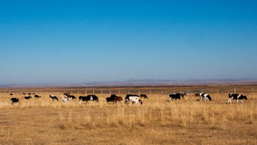 Autumn pasture. The hulunbuir autumn pasture of China Royalty Free Stock Photography